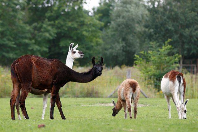 Nanotrupat magjike të llamas! Studimi në Angli: Shërojnë plotësisht nga Covid brenda javës